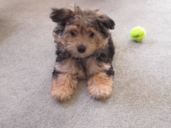 子犬のルーシー