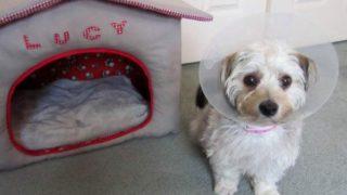 エリザベスカラー着用の愛犬ルーシー