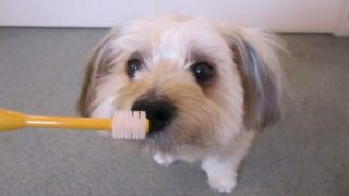 ビバテックシグワン犬の歯ブラシに興味を示す犬