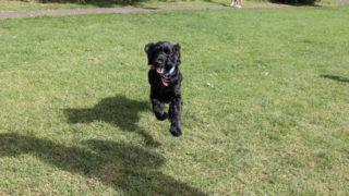 黒い犬が飛び跳ねている