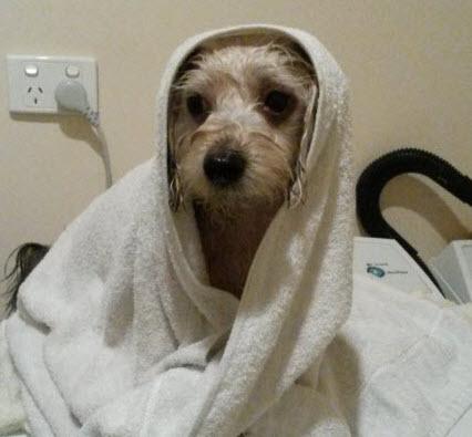 タオルに包まっている犬