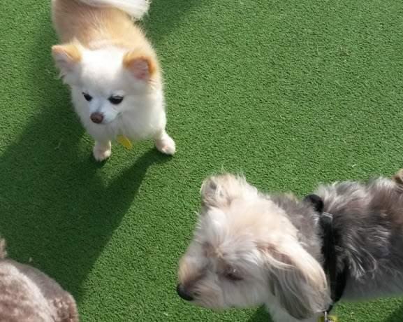 愛犬ルーシーとチワワ