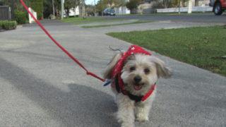 愛犬ルーシーお散歩中