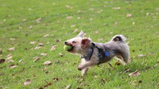 ボールで遊ぶ愛犬ルーシー
