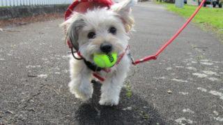 ボールを咥えて歩く愛犬ルーシー