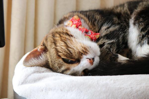 愛するシニア猫のキキ