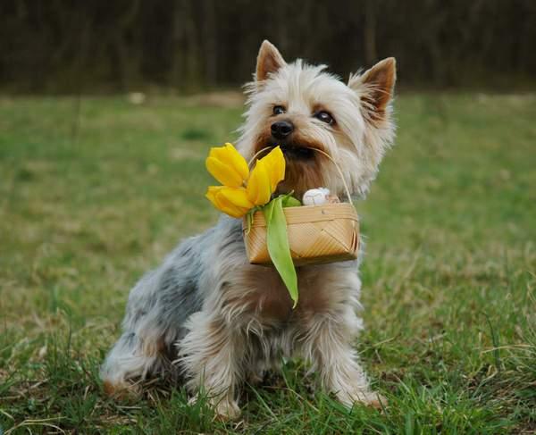 バスケットをくわえたシルキーテリア犬