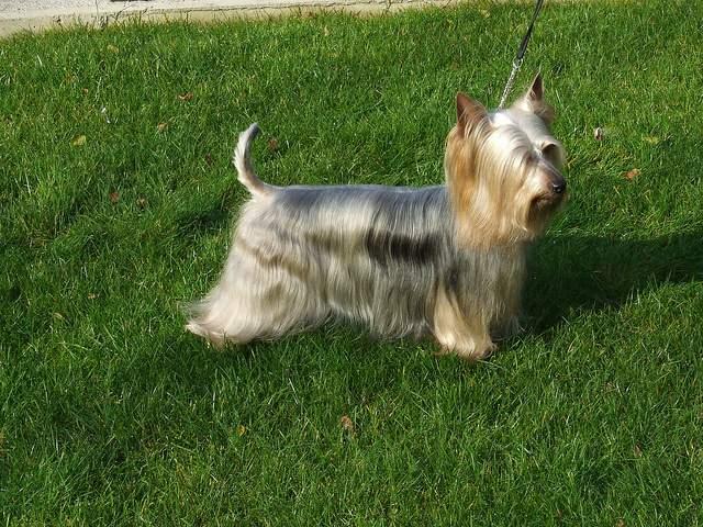 シルキーテリア犬