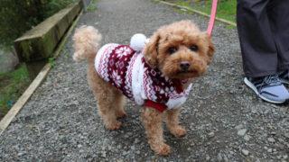 服を着てるトイプーミックス犬