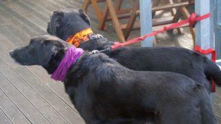 並ぶ2匹の黒い犬