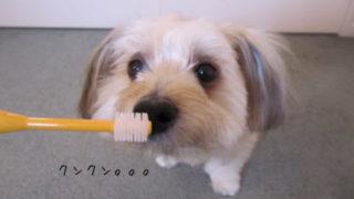 ビバテックシグワン歯ブラシと愛犬ルーシー