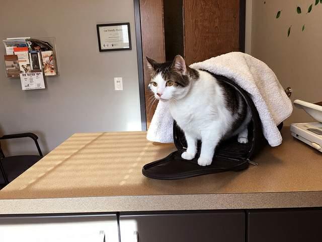 獣医さんに行った猫