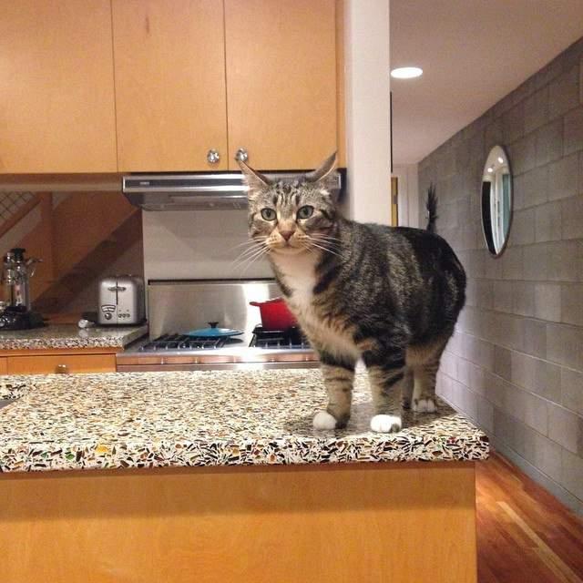 カウンターの上の猫