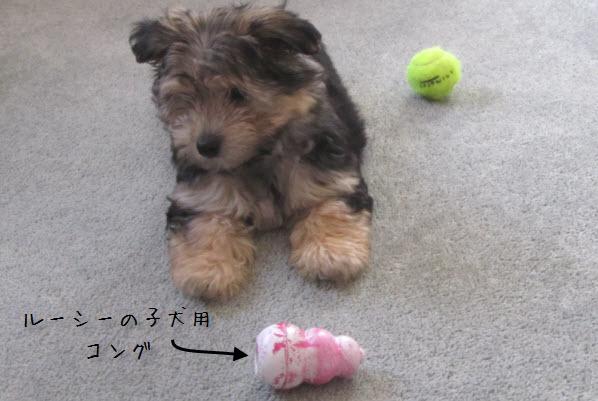 子犬用KONGで遊ぶ愛犬ルーシー