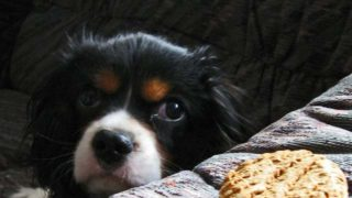ビスケットを見つめる犬