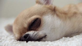 寝てるチワワ