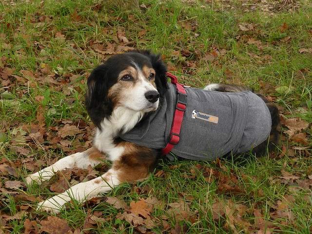 サンダーシャツを着ている犬