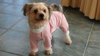 皮膚保護服を着た愛犬ルーシー