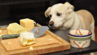 チーズが欲しそうな犬