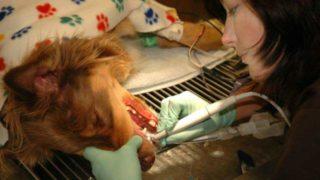 犬の歯石除去
