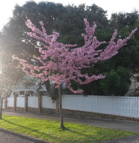 オークランドの桜